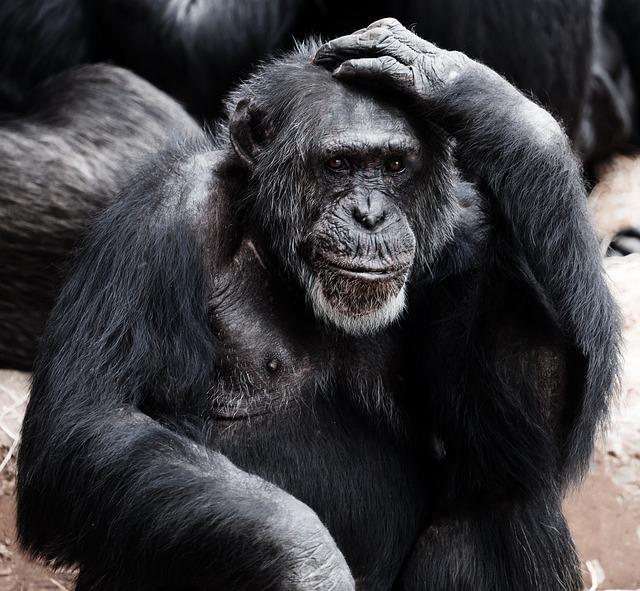 Chimp Thinking