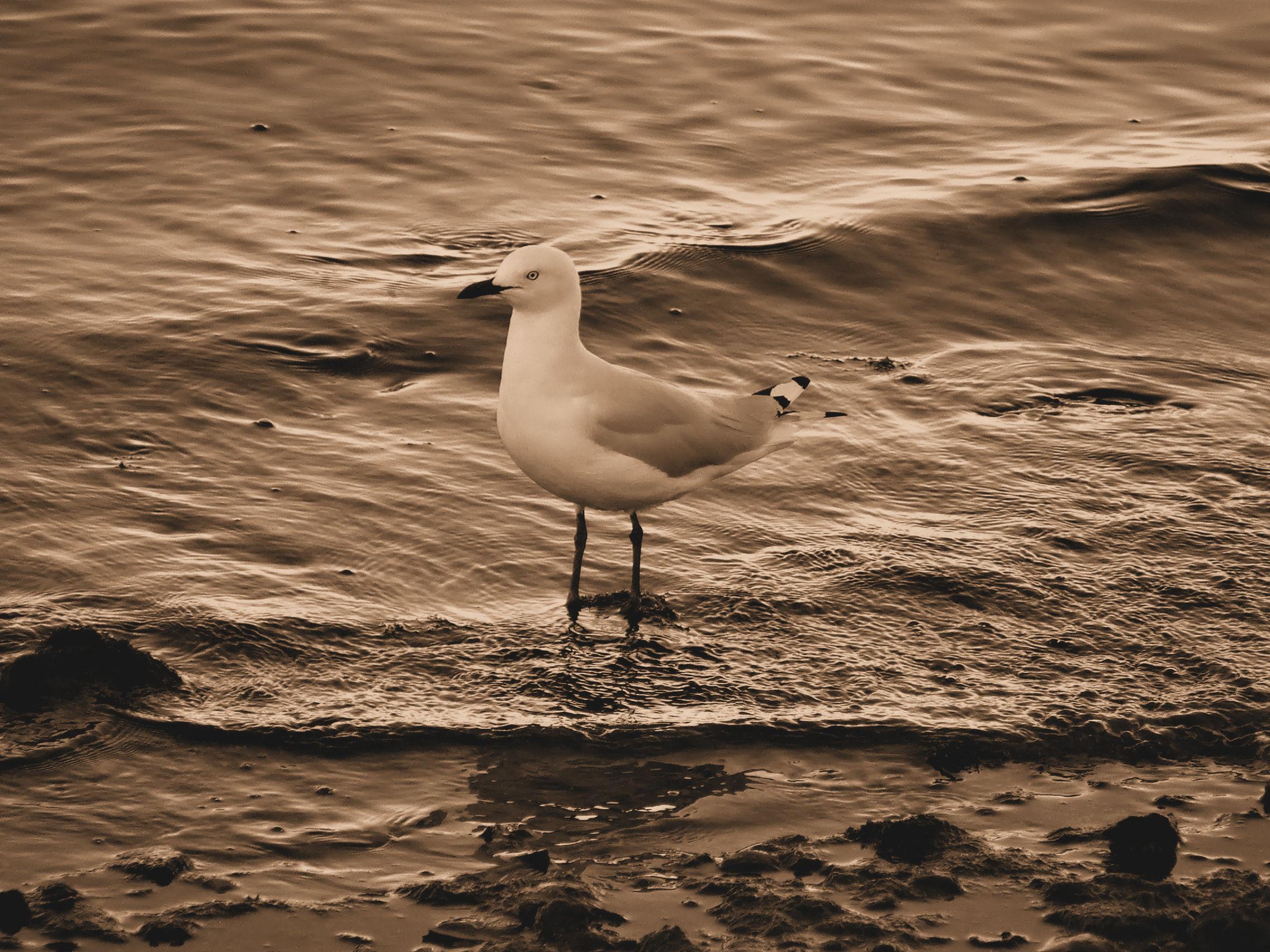 Seagull Sepia